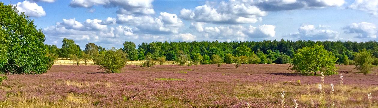 Heideblüte in der Barger Heide. (Foto: Helmut Bergmann)