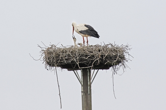Storch füttert Jungstorch in Heinbockel
